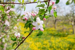 image of a blossoming apple tree in orchard,spring theme. flower against dandelion background.