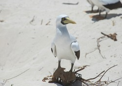 Image of a bobby bird (masked bobby)  resting in a the white sand  in  the seashore