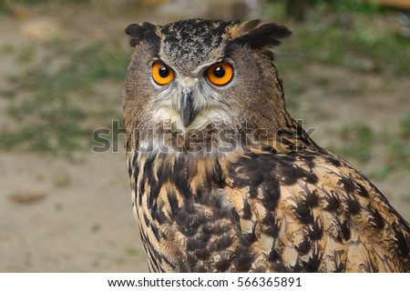 Image of a brown owl selective focus for blur background