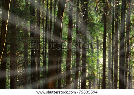 image of a coniferous trees in the forest