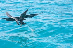 Image of a couple of frigate birds fighting for its meal. In a blue sea backround . lesser frigate bird