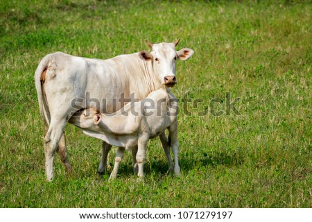 Image of a cow and calf on the green meadow. Farm Animal.