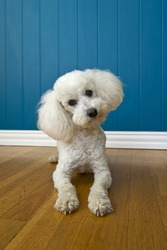 Image of a curious Poodle on a blue background