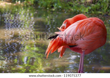 Image of a flamingo preening his feathers. The bird is standing on two legs in a shimmering pond of water with its beak buried in its feathers.