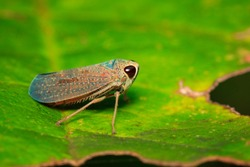 Image of a green leafhopper (Cicadella viridis) on green leaves. Insect Animal.