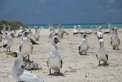 Image of a group of booby bird (masked booby)  resting in a the white sand  in  the seashore in a blue sea backround