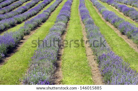 image of a lavender field at summer