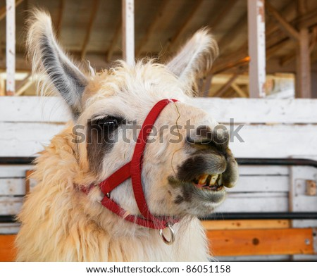 Image of a Llama head facing camera with stained crooked teeth