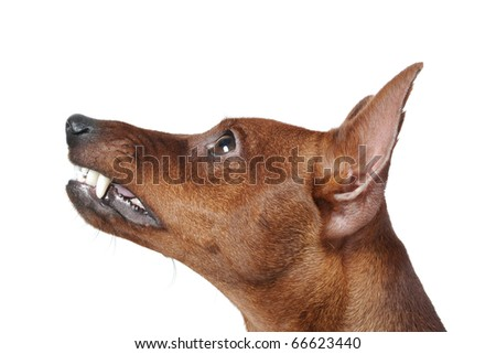image of a Miniature Pinscher. Isolated on white background