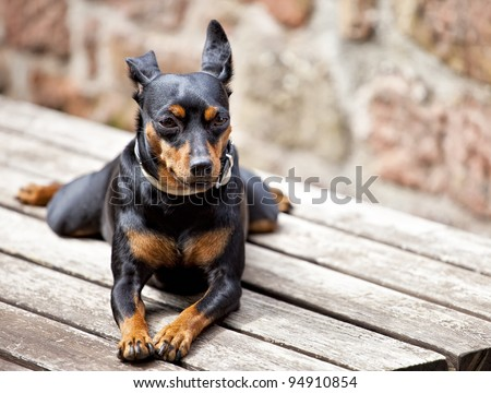 Image of a Miniature Pinscher sitting on a table - stock photo