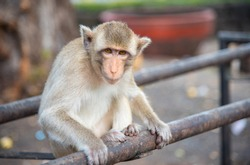 image of a monkey (macaca fascicularis,Long-tailed macaque, Crab-eating macaque) ,Portrait of cute monkey in Lop Buri ,thailand