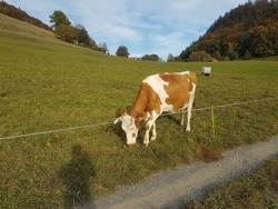 Image of a singular brown and white Swiss milk cow with horns grazing peacefully in a lush, green, mountainside field, with alpine trees and blue sky in the background. Outer Leysin, Vaud, Switzerland