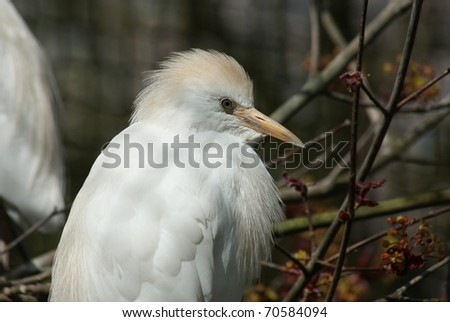 Image of a white Cattle Egret - Bubulcus ibis