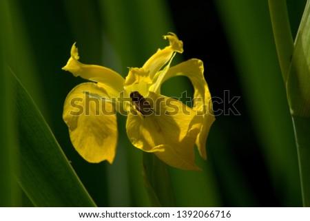 Image of a yellow flag iris flower #1392066716