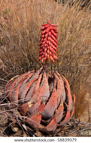 Image of an aloe peglerae in Magaliesberg