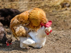 image of an animal rooster treads a white chicken on a farm