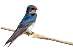 Image of barn swallow bird (Hirundo rustica) isolated on white background. Bird. Animal.