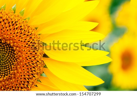 Image of beautiful sunflowers photographed close