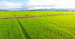 Image of beautiful Terraced rice field in water season and Irrigation from drone,Top view of rices paddy field,nan,thailand
