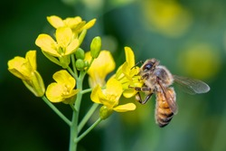 Image of bee or honeybee on flower collects nectar. Golden honeybee on flower pollen with space blur background for text. Insect. Animal.