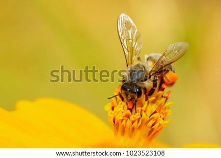 Image of bee or honeybee on yellow flower collects nectar. Golden honeybee on flower pollen with space blur background for text. Insect. Animal #1023523108