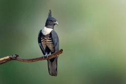 Image of Black baza (Aviceda leuphotes) perched on a branch on nature background with space blur background for text. Falco. Birds. Animals.
