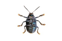 Image of blue milkweed beetle isolated on white background. View from the bottom. Insect. Animal.