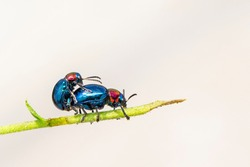 Image of blue milkweed beetle it has blue wings and a red head couple make love on a natural background. Insect. Animal.