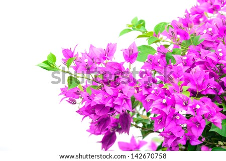 image of bright Bougainvillea isolate on white
