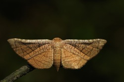 Image of Brown Butterfly Moth (Lasiocampidae) on nature background. Insect, Animal