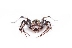 Image of brown lynx spiders on white background. From top view. Insect. Animal