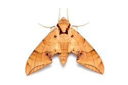 Image of brown moth (Ambulyx Iiturata) isolated on white background. Butterfly. Animal. Insect.