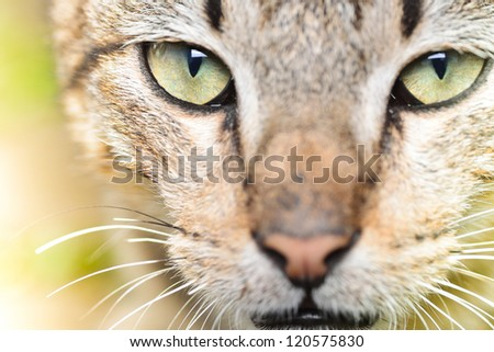 image of cat with fierce eyes (Felis silvestris catus) close up