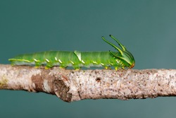 Image of Caterpillar of common nawab butterfly (Polyura athamas) or Dragon-Headed Caterpillar on nature background. Insect. Animal.