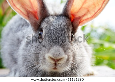Image of cautious grey bunny muzzle looking at camera