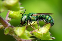 Image of Ceratina (Pithitis) smaragdula on green leaf on a natural background. Bee. Insect. Animal.