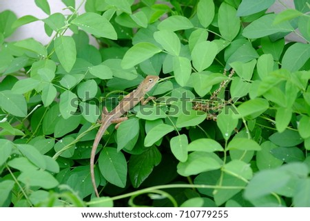 Image of chameleon on a green leaf. Reptile.Small lizard Climb on green leaves #710779255