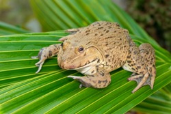 Image of Chinese edible frog, East Asian bullfrog, Taiwanese frog (Hoplobatrachus rugulosus) on the green leaves. Amphibian. Animal.