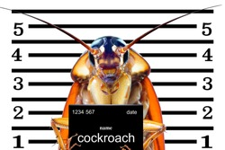 Image of cockroaches arrested.The charges against ,Mr cockroaches, invading the home kitchen. concept protection against termites, cockroaches, fleas, agricultural pests.