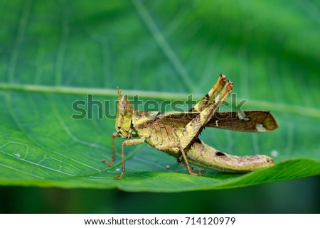 Image of Conjoined Spot Monkey-grasshopper (female), Erianthus serratus on green leaves. Insect Animal #714120979