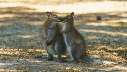 Image of couple of gray kangaroo. Bennett's wallaby in sunny summer. They sniff each other. Animals caress each other like wife and husband. High relationship between animals. High resolution image.