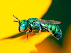 Image of cuckoo wasp (Chrysididae) on yellow flower on a natural background. Insect. Animal.