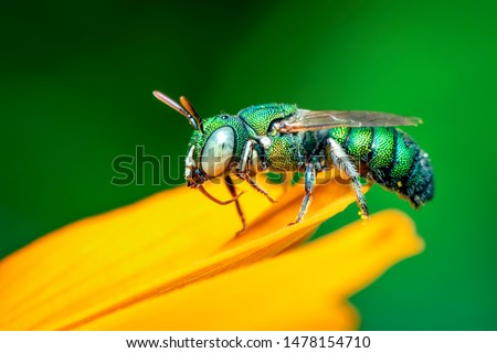 Image of cuckoo wasp (Chrysididae) on yellow flower on a natural background. Insect. Animal. stock photo