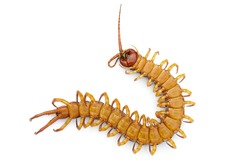 Image of dead centipedes or chilopoda isolated on white background. Animal. poisonous animals.