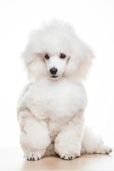 image of dog white background