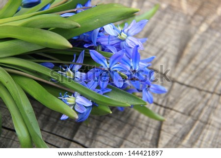 image of early spring Blue Scilla (Squill) over wooden background/Lovely tender spring flowers