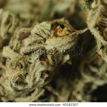 Image Of Extreme Closeup Of the THC Loaded Tricomes in Marijuana