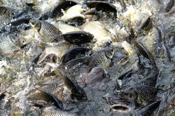 Image of feeding many fish shoal in the pond,at farm.