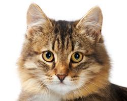 Image of fluffy grey cat looking at camera over white background