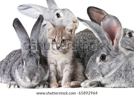 Image of fluffy kitten with group of grey rabbits near by